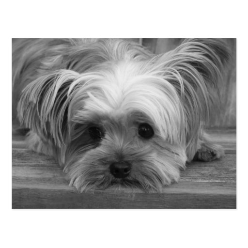 Blank  Yorkshire Terrier Puppy Dog Post Card