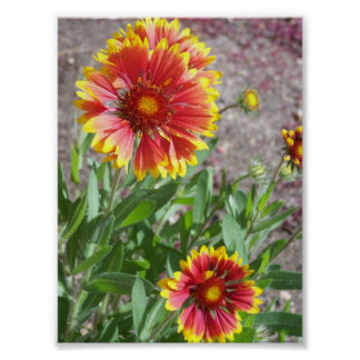 Blanket Flower in Colorado Poster