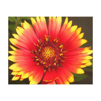 Blanket Flower - Sunset In a Single Blossom Canvas Print