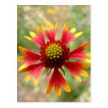 Blanketflower desert wildflower Gaillardia Post Cards