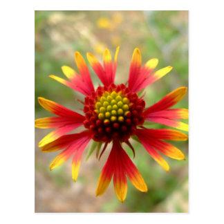Blanketflower desert wildflower Gaillardia Postcard