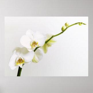 Blanquea orquídeas posters