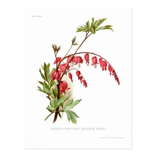 Bleeding Heart (Dicentra spectablis) Postcard