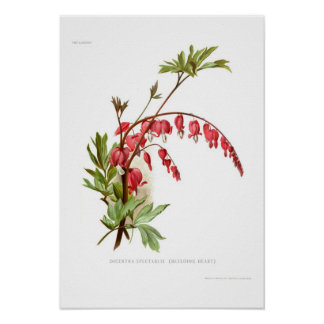 Bleeding Heart (Dicentra spectablis) Posters