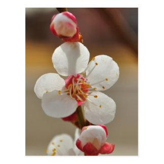 Blenheim Apricot Blossom Postcard