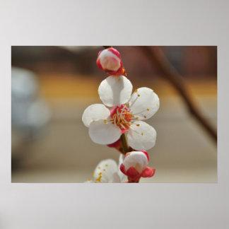 Blenheim Apricot Blossom Poster