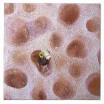 Blenny de Spinyhead (spinosa del acanthemblemaria) Azulejo Cuadrado Grande
