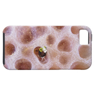 Blenny de Spinyhead (spinosa del acanthemblemaria) Funda Para iPhone 5 Tough