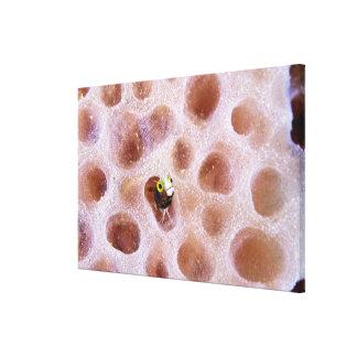 Blenny de Spinyhead (spinosa del acanthemblemaria) Impresiones En Lona