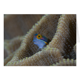 Blenny fish Blenniidae poking it s head out Cards