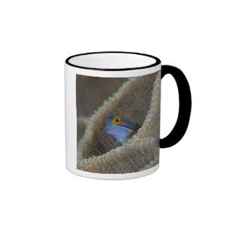 Blenny fish Blenniidae poking it s head out Mugs