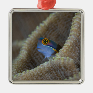 Blenny fish Blenniidae poking it s head out Christmas Tree Ornaments
