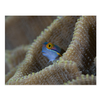 Blenny fish Blenniidae poking it s head out Post Cards