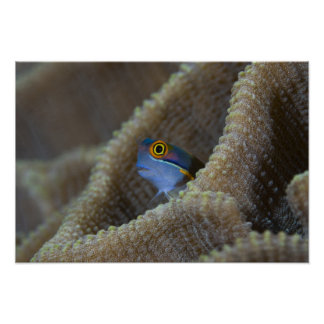 Blenny fish Blenniidae poking it s head out Poster