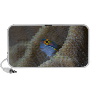 Blenny fish Blenniidae poking it s head out Travelling Speakers