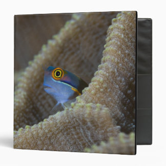 Blenny fish Blenniidae) poking it's head out 3 Ring Binder