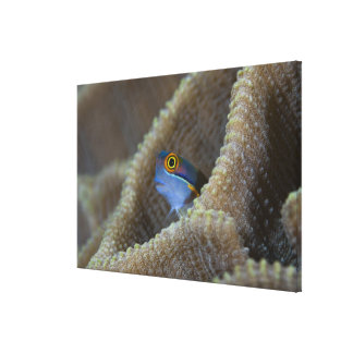 Blenny fish Blenniidae) poking it's head out Canvas Print