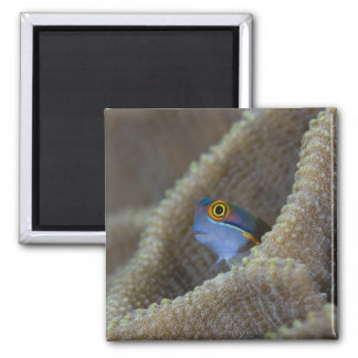Blenny fish Blenniidae) poking it's head out Refrigerator Magnets