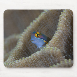 Blenny fish Blenniidae) poking it's head out Mouse Pad