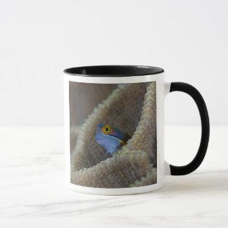 Blenny fish Blenniidae) poking it's head out Mug
