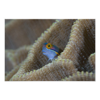 Blenny fish Blenniidae) poking it's head out Photo Print