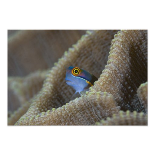 Blenny fish Blenniidae) poking it's head out Photo Print
