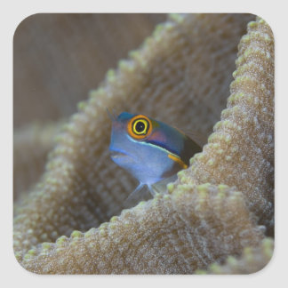 Blenny fish Blenniidae) poking it's head out Square Sticker