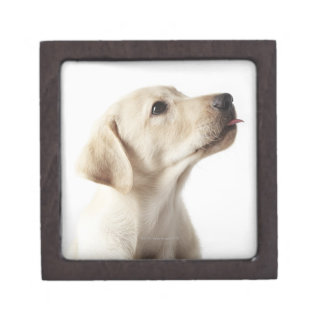 Blond Labrador puppy sticking out tongue Jewelry Box