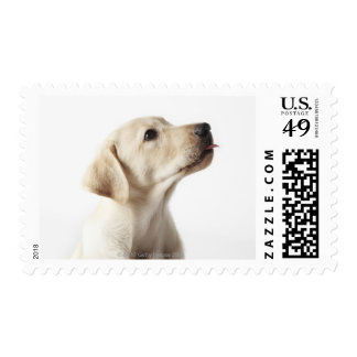 Blond Labrador puppy sticking out tongue Postage