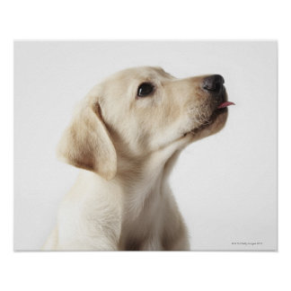 Blond Labrador puppy sticking out tongue Poster