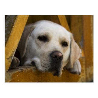 Blond Labrador retriever, Patagonia, Chile Postcard
