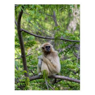 Blonde Gibbon Monkey - Hylobates lar Postcard