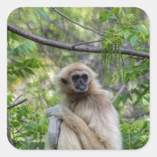 Blonde Gibbon Monkey - Hylobates lar Square Sticker