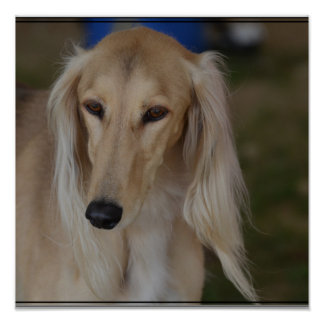 Blonde Saluki Dog Poster