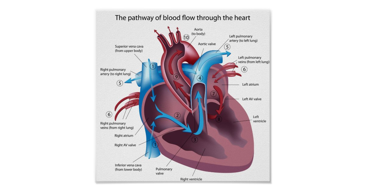 Blood Flow Through The Heart Poster Zazzle