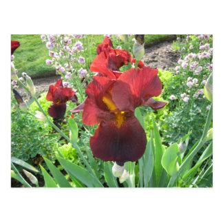 Blood Iris Postcard