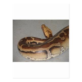 Blood Python Postcard