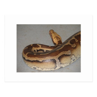 Blood Python Post Cards
