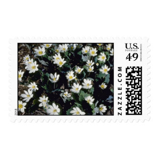 Blood-Root (Sanguinaria Canadensis) flowers Stamps