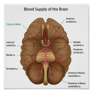 Blood supply of the brain Poster