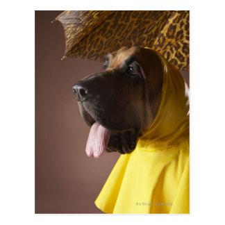 Bloodhound dog. postcard