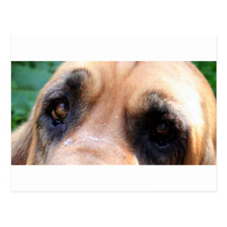 Bloodhound eyes postcard