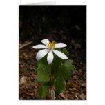 Bloodroot flower greeting cards