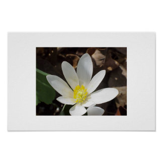Bloodroot flower poster