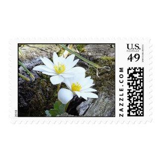 Bloodroot, Sanguinaria canadensis Stamps