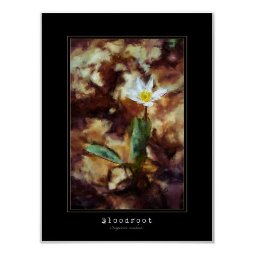 Bloodroot Spring Wild Flower Painting Poster