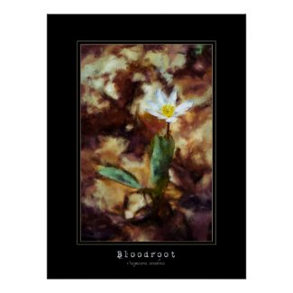 Bloodroot Spring Wild Flower Painting Poster print