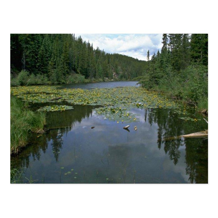 Bloom In Water Postcard