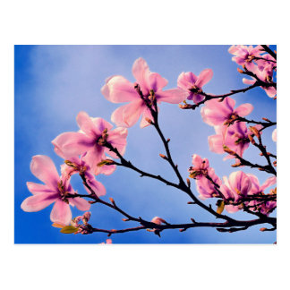 Bloomed Cherry Tree Postcard