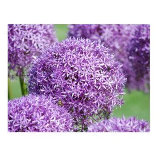 Blooming Allium Flowers Postcard